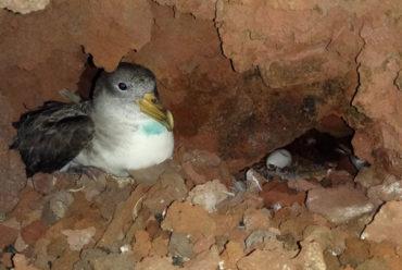 Estudio de las colonias de pardela